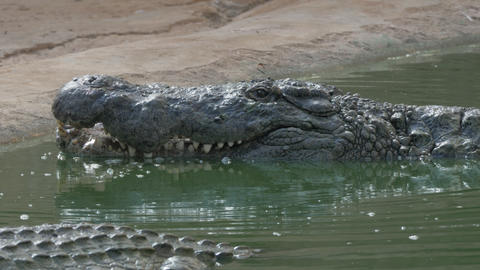 Crocodile with open mouth in water Live Action