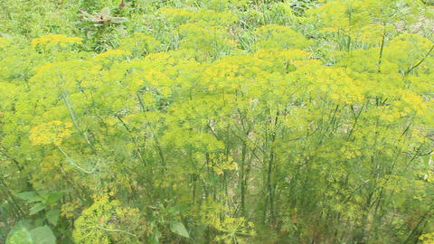 Fennel growing on the vegetable garden Footage