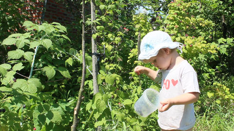 baby gathers raspberries in the garden Footage