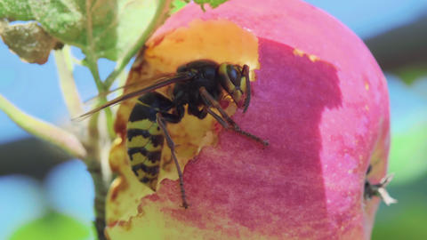 Hornet eats red apple Footage