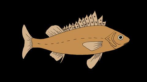 Big Fish Ruff Swimming Animation