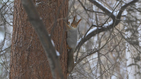 Squirrels climb trees in the forest 006 Live Action