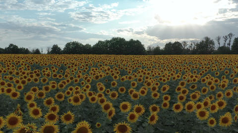 Aerial view. Sunflowers in the Field Swaying in the Wind. Beautiful fields with Live Action