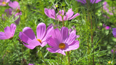 Close-up shot nature blooming cosmos flower select focus shallow depth of field Live Action