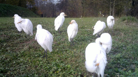 Group of White Water Birds (Western Cattle Egret) Taking care of their Plumage Live Action