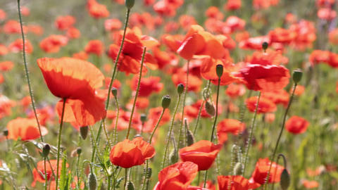 Poppy flowers swaying in a gust of wind. A field of poppies Live Action