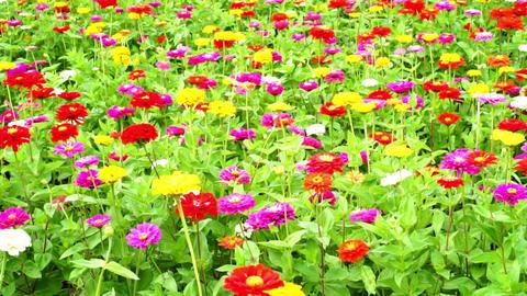 Colorful flower garden (general-purpose, zinnia, sunflower Len full bloom)