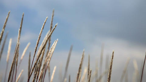 Grasses Blowing In The Wind Footage
