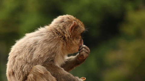 Japanese Macaque (Snow Monkey) Footage