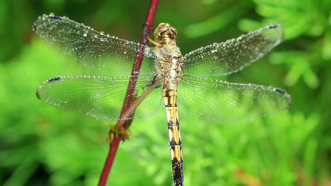 Dragonfly Covered In Dew Macro Footage