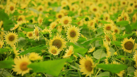 Sunflowers Background Footage