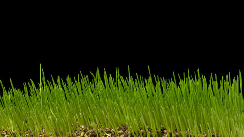 Wheatgrass Growing Time Lapse Footage
