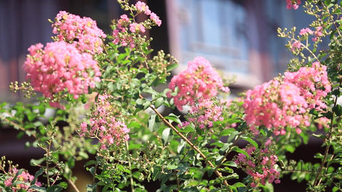 Pink flowers in the sun ビデオ