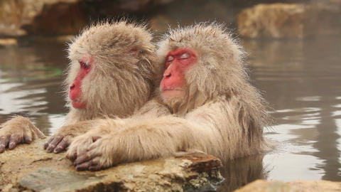 Snow Monkey in Hot Spring Footage