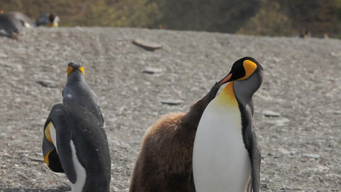 King Penguin Colony on South Georgia Footage