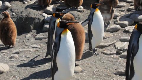 King Penguin Colony on South Georgia Footage