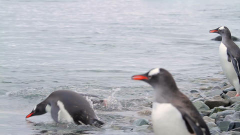 Gentoo Penguins In Antarctica Live Action