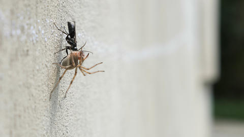 A black beetle drags a dead spider on the wall ライブ動画