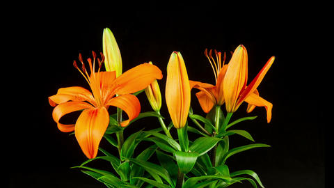 Time Lapse Lilies Opening Footage