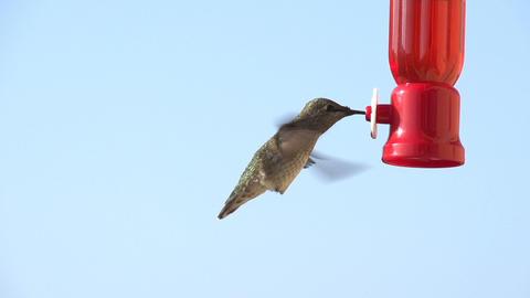 Hummingbird Feeding Slow Motion Footage