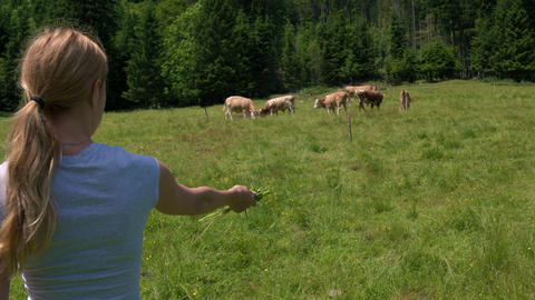 Young woman wanting to attract the cows by feeding them with grass from her hand Footage