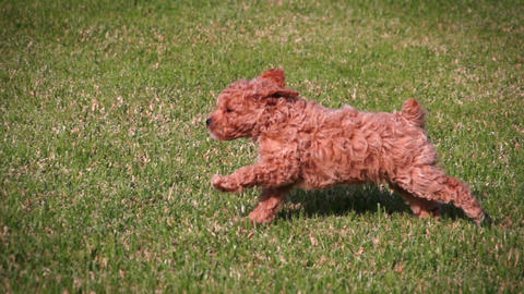 Poodle Puppies Playing Slow Motion Footage