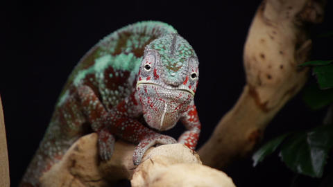 Chameleon Eating Slow Motion Footage