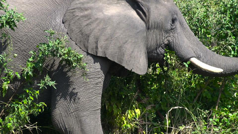 Elephant in Zimbabwe Footage