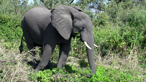 Elephant in Zimbabwe Footage