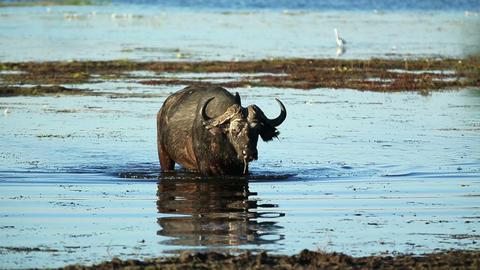 African Buffalo In Botswana Footage