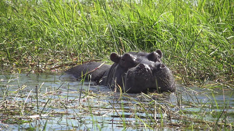 Hippo Eating River Grass Footage