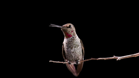 Hummingbird Landing Slow Motion Footage