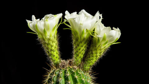 Time Lapse Cactus Flower Opening Footage