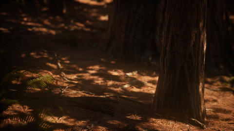 Early morning sunlight in the Sequoias of Mariposa Grove Live Action