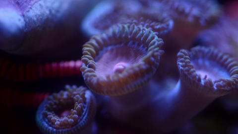 Close up miami vice zoa coral and hermit crab moving, 4k time lapse video Live Action