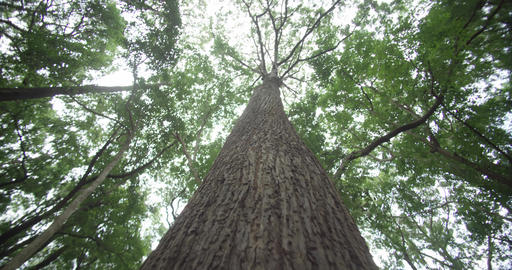 This is a picture of green forest. It is a view from the low angle of the windy forest Live Action