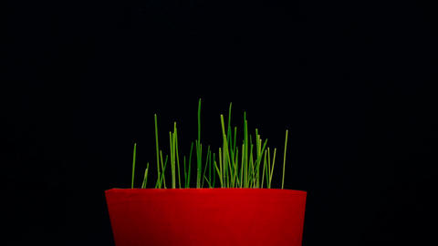 small plant blacks background, green grass growing from pot, 4k, static shot Live Action