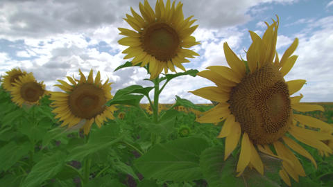 Beautiful agricultural field with sunflowers. Bright yellow petals of sunflowers Live Action