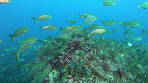 Underwater scene Gold banded fishes in a reef - Scuba diving in Majorca Spain Live Action