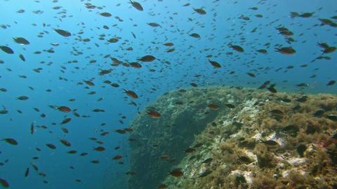 Marine sea life Little damselfishes shoal in a Mediterranean sea reef Live Action