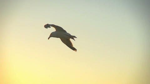 Seagull Flying Slow Motion Footage