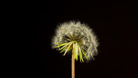 Time Lapse Dandelion Seeds Opening Footage