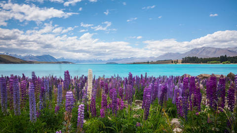 New Zealand Flowers Landscape Time Lapse Footage