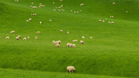 New Zealand Hillside Covered In Sheep Time Lapse Footage
