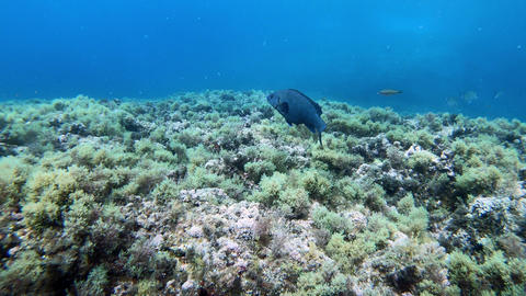 Blue reef fish swimming in a reef Live Action