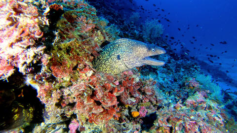 Wildlife underwater Moray eel in a colourful reef - Scuba diving in Majorca Spain Live Action