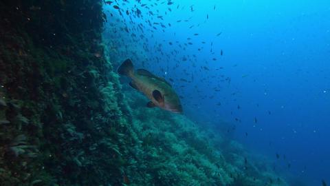 Grupoer fish in dark blue water Marine life of the Mediterranean sea Live Action
