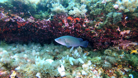 Mediterranean sea reef fishes Live Action