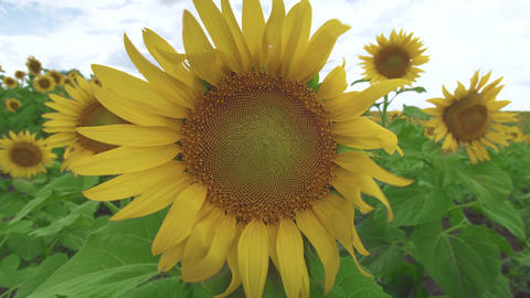 Sunflower against the sky. Sunflower swaying in the wind. Close-up. Beautiful Live Action