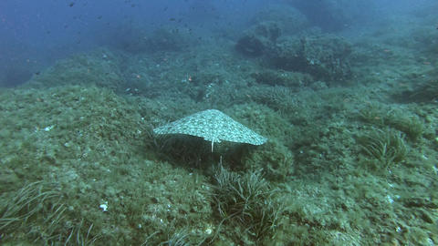 Marine life - Stingray swimming over the seabed - Underwater scene Scuba diving in Majorca Spain Live Action